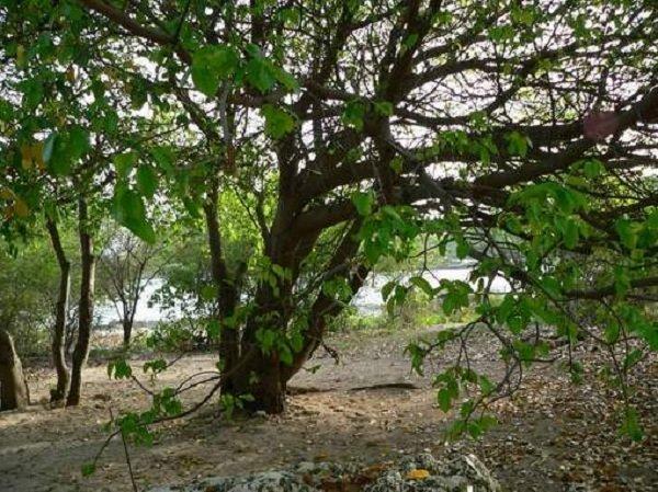 Растения убийцы фото и описание - Манцинелловое дерево