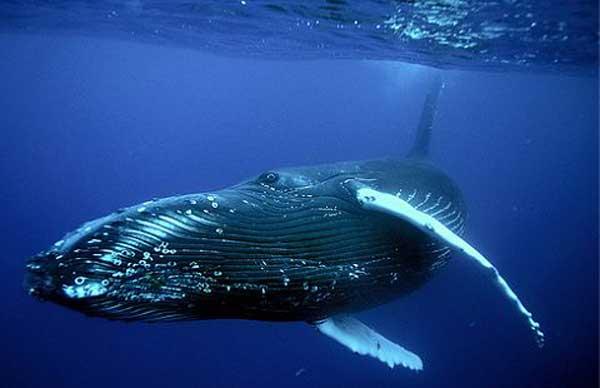 Животные долгожители фото и описание - Гренландский кит