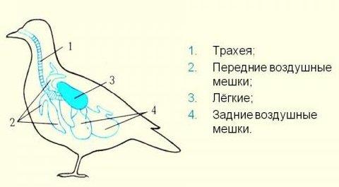 Факты о птицах - фото и описание самых интересных - воздушные мешки