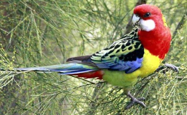 Говорящие попугаи фото и описание самых красивых - Пестрая Розелла