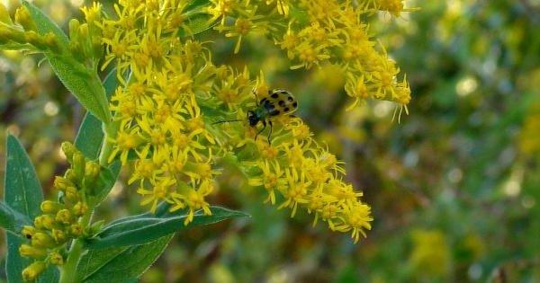 Исчезающие растения фото и описание - Ouachita Mountain Goldenrod