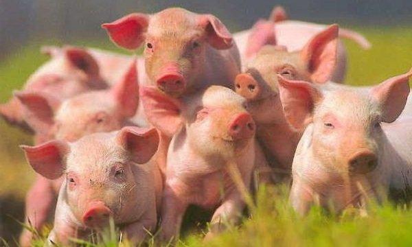 Интересные факты о животных - ошибочные мнения людей про глупость свиней