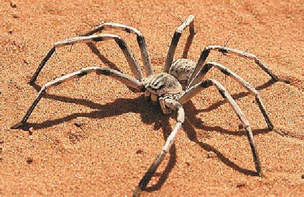 Самые большие пауки фото и описание - Цербал Аравийский