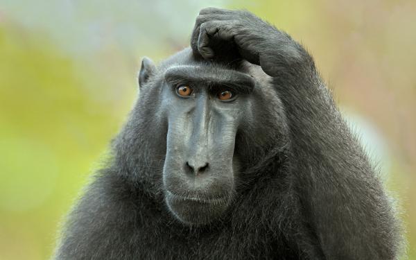 Эксперименты над животными фото и описание - обезъяна с пересаженной головой