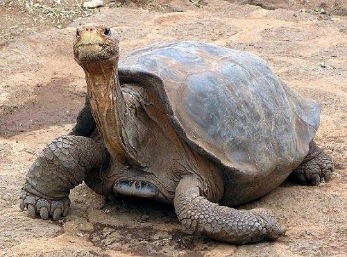Самые известные животные в мире - Черепаха Джонатан