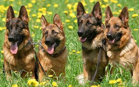 Интересные факты о животных - ошибочные мнения людей про интеллект собак