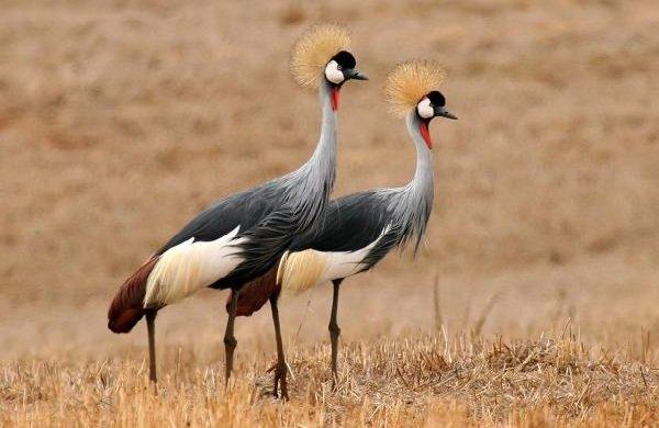 Красивые птицы нашей земли фото - Венценосный журавль