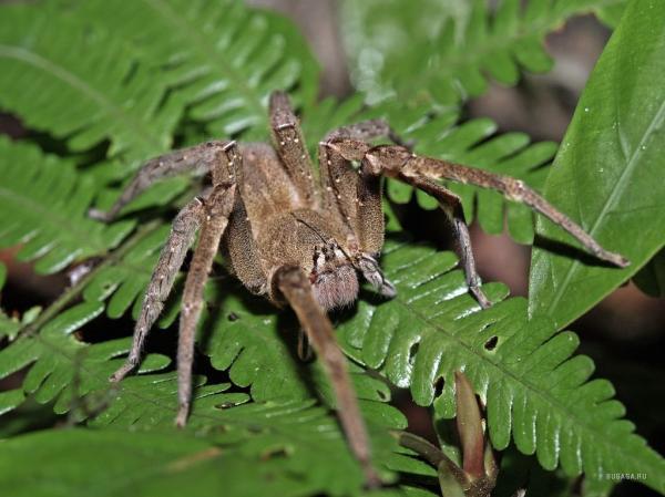 Самые большие пауки фото и описание - Странствующий паук
