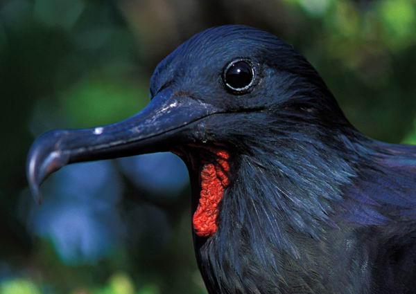 Самые редкие птицы фото и описание - Птицы Фрегаты
