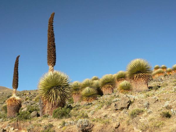 Растения убийцы фото и описание - Пуйя
