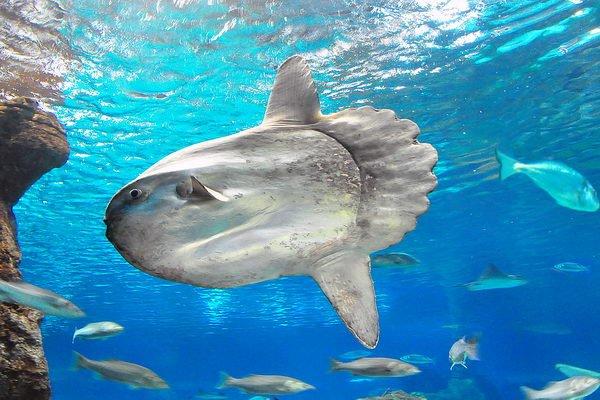 Морские жители фото и описание - Рыба-луна