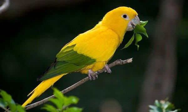Говорящие попугаи фото и описание самых красивых - Золотой аратинга