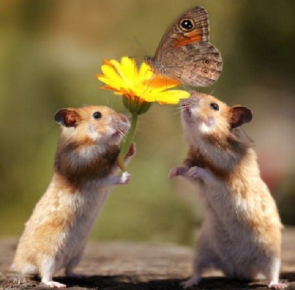 Интересные факты о животных - ошибочные мнения людей про романтичных хомячков
