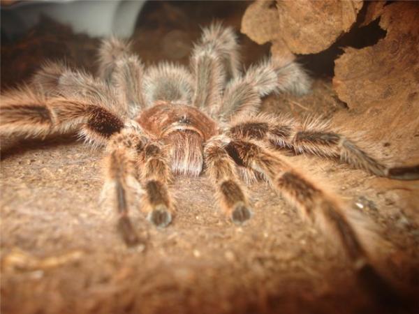 Самые большие пауки фото и описание - Бабуиновый паук