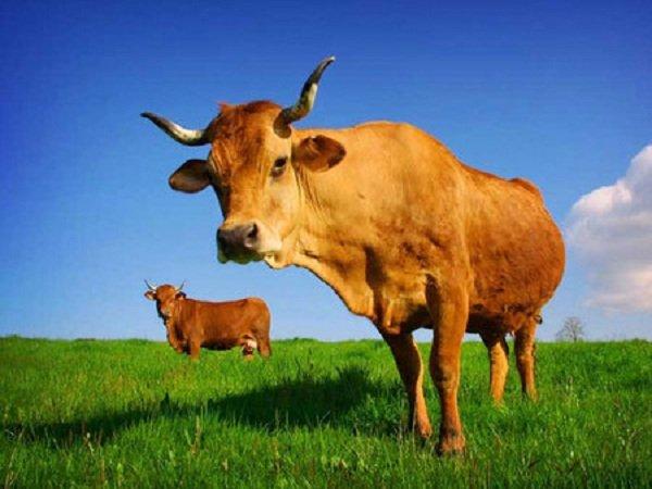 Животные преступники - арестованы полицией фото - Корова из Лаоса