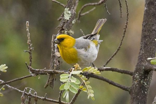 Самые редкие птицы фото и описание - Палила