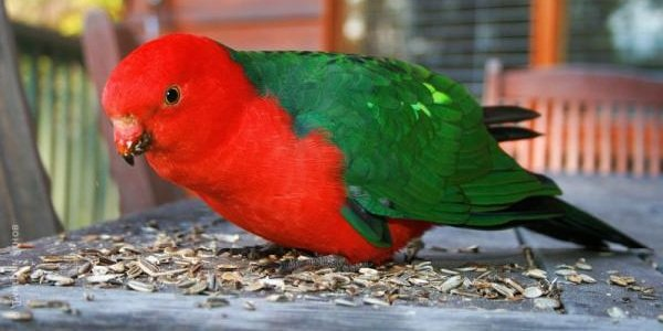 Говорящие попугаи фото и описание самых красивых - Королевский попугай