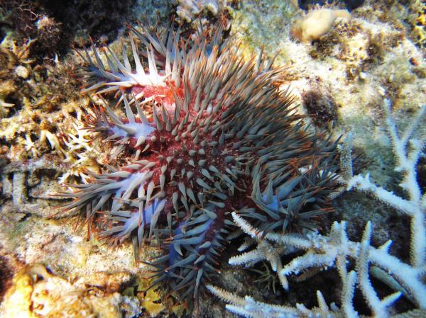 Морские жители фото и описание - Терновый венец