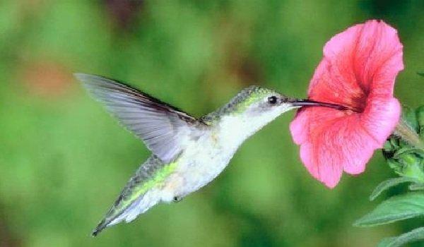 Факты о птицах - фото и описание самых интересных - Колибри прожорливая птица