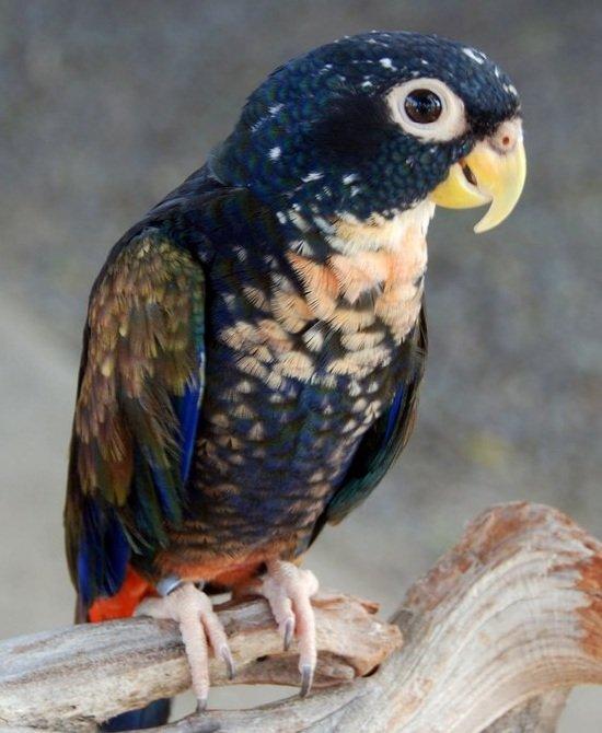 Говорящие попугаи фото и описание самых красивых - Бронзокрылый попугай