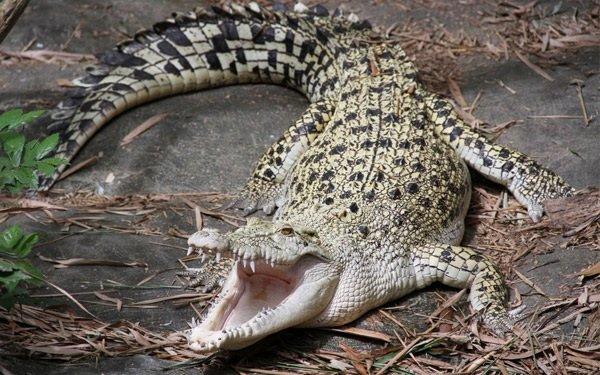 Интересные факты о животных - ошибочные мнения людей про расторопных крокодилов