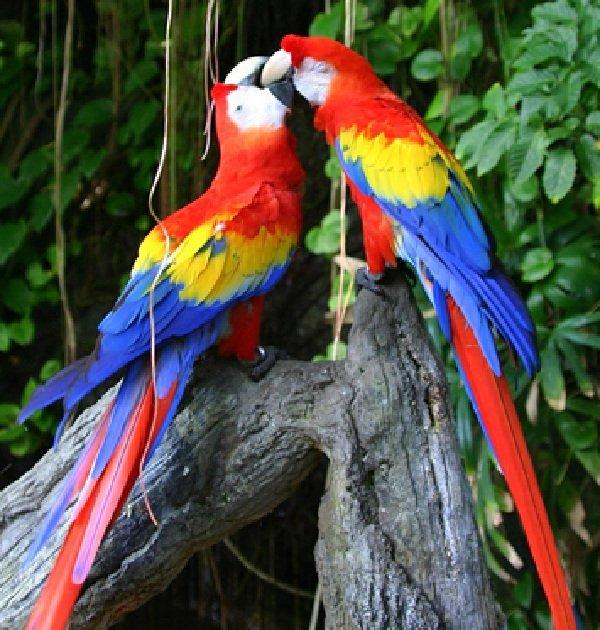 Красивые птицы нашей земли фото - Красный Ара