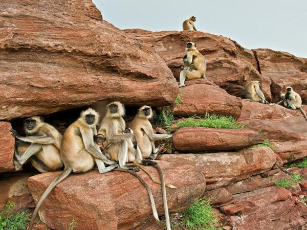 Самые хитрые животные фото и описание - Лангуры