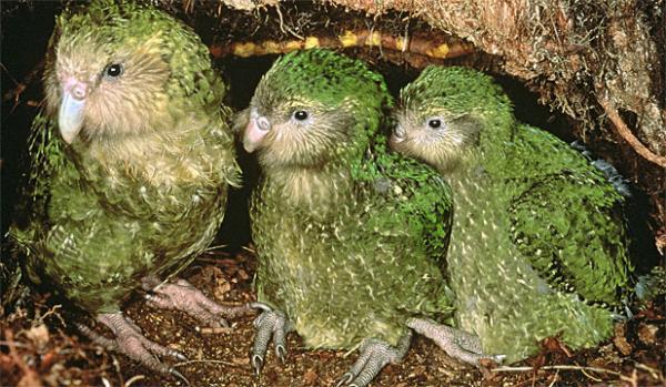 Самые редкие птицы фото и описание - Какапо
