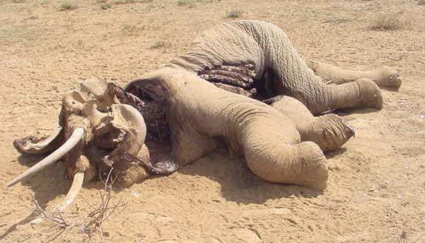 Эксперименты над животными фото и описание - Слон и ЛСД