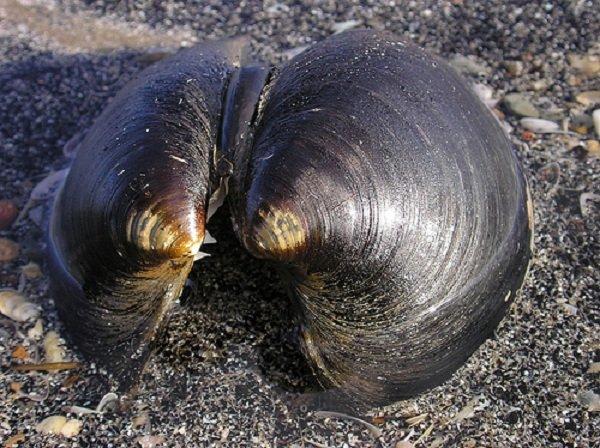 Животные долгожители фото и описание - Океанический венус