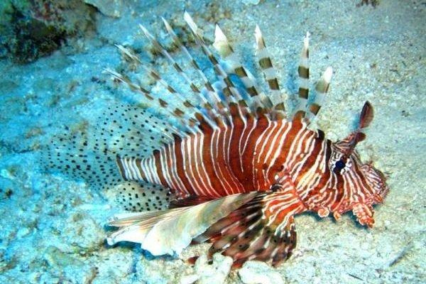 Морские животные фото - похожи на инопланетян - Крылатка