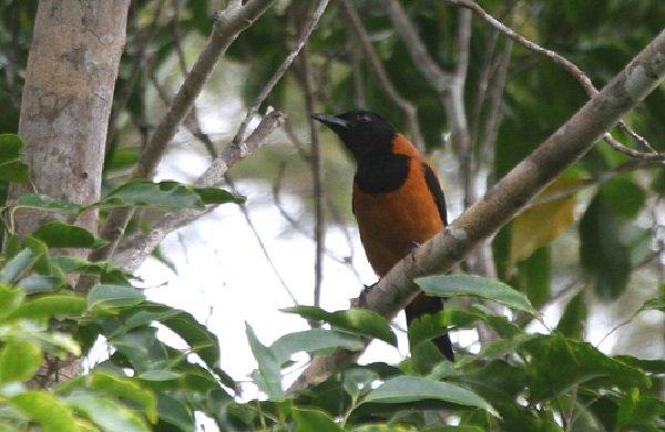 Факты о птицах - фото и описание самых интересных - ядовитая птица мухоловка