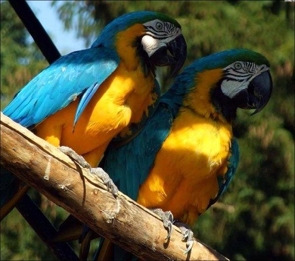 Говорящие попугаи фото и описание самых красивых - Сине-желтый Ара