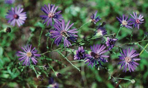 Исчезающие растения фото и описание - Georgia Aster