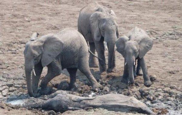 Интересные факты о животных - ошибочные мнения людей про похороны у слонов