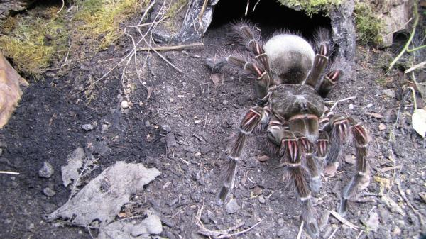 Самые большие пауки фото и описание - Голиаф птицеед