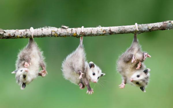 Самые хитрые животные фото и описание - Виргинские опоссумы