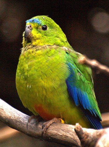Самые редкие птицы фото и описание - Пузатый попугай