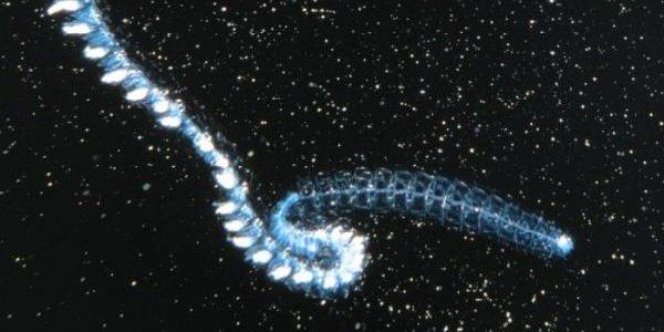 Морские животные фото - похожи на инопланетян - Гигантская Сифонофора