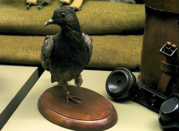 Факты о птицах - фото и описание самых интересных - Почтовые голуби
