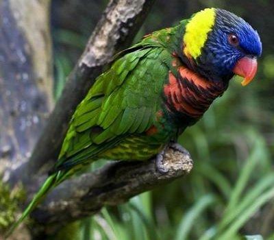 Говорящие попугаи фото и описание самых красивых - Вишнево-красный Лорикет