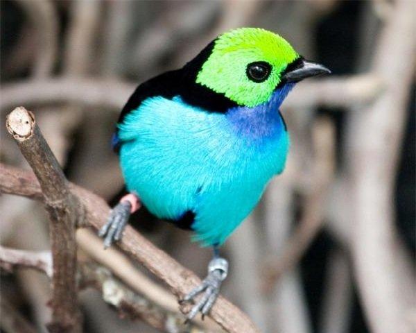 Красивые птицы нашей земли фото - Райская танагра