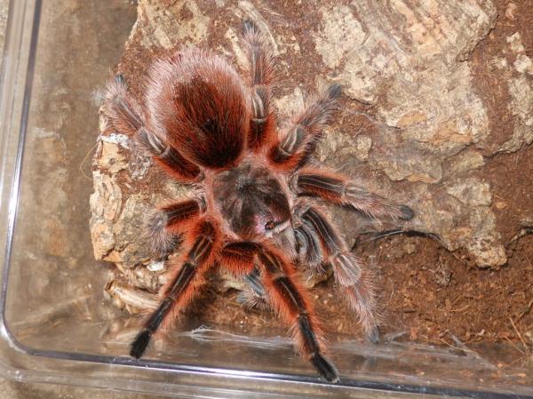 Самые большие пауки фото и описание - Розовый Бразильский паук птицеед