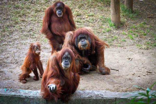 Самые хитрые животные фото и описание - Орангутанги