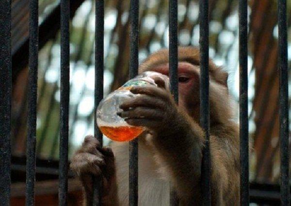 Животные преступники - арестованы полицией фото - Обезьяна Гоша