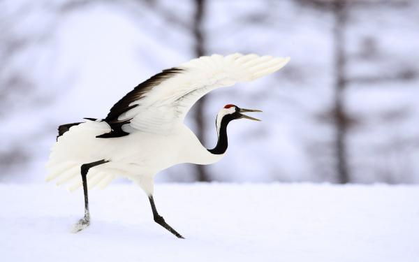 Самые редкие птицы фото и описание - Япоский Журавль