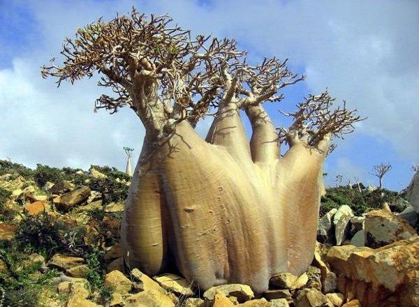 Необычные деревья и самые странные фото - Бутылочное дерево