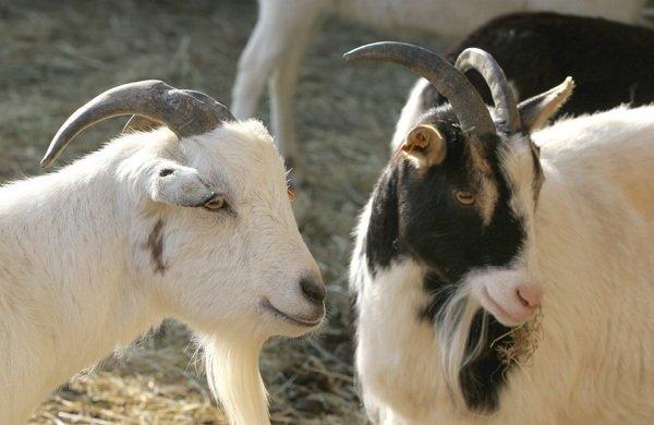 Спаривание животных - самые необычные - козы