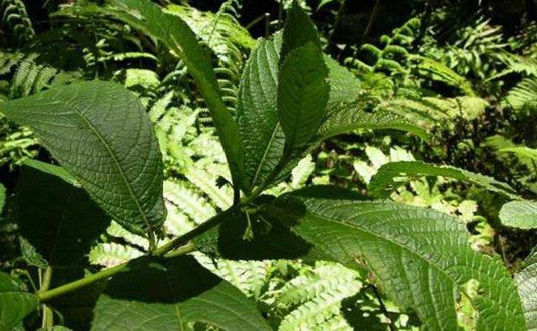 Растения афродизиаки фото описание - Пичо хуайо