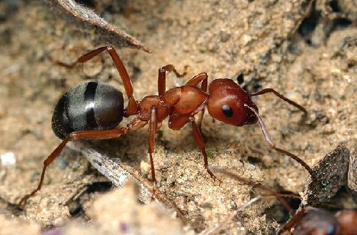 Запахи в жизни животных - муравьи